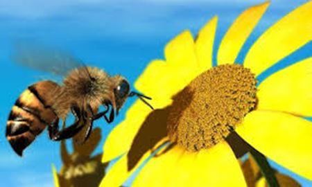 کشف علت ناپدید شدن زنبورهای عسل در نیوزلند