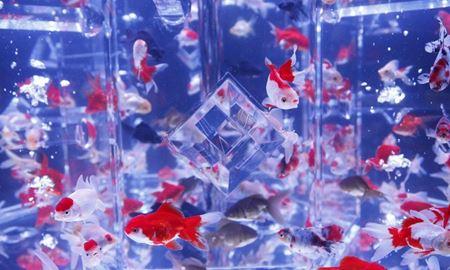 گزارش تصویری از نمایشگاه تخصصی ماهی قرمز در ژاپن