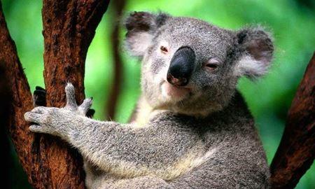 داستان کوالاهای ساوت استرالیا