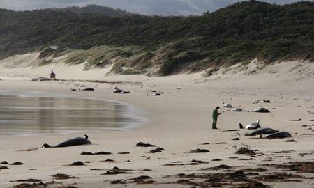 28 نهنگ در سواحل ایالت ویکتوریای استرالیا خودکشی گروهی کردند