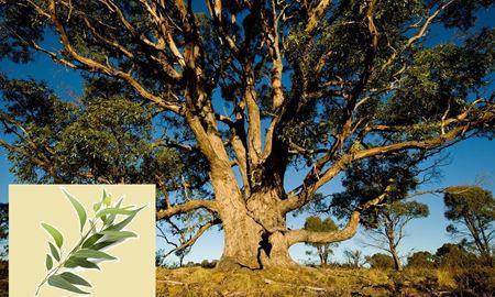 اکالیپتوس ، درخت بومی و معجزه گر  استرالیا
