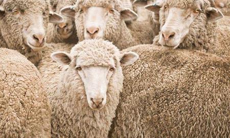 جنگ تجاری و خشکسالی دو چالش بزرگ پیش روی تولیدکنندگان پشم استرالیا