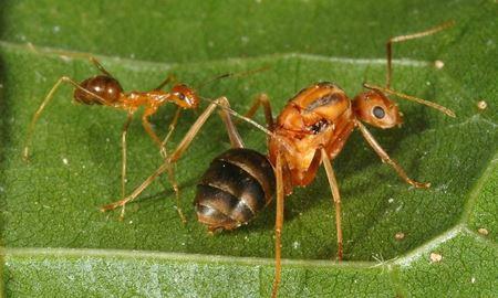 نگرانی ها بابت افزایش مورچه های مهاجم اسیدپاش در استرالیا