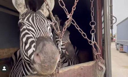 مرگ دومین گورخر آفریقایی باغ وحشی در ایران