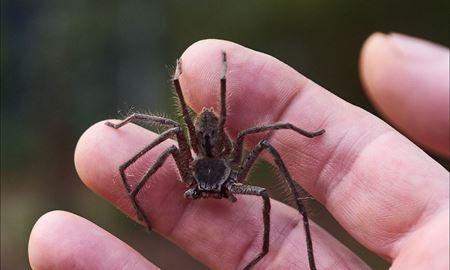 ورود عنکبوتها به گیپسلند بعد از سیل